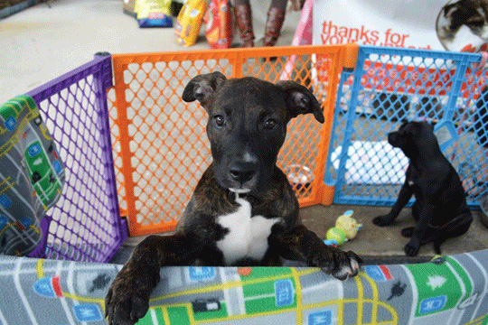 Puppies in play pen at pet adoption